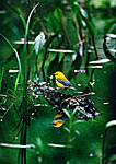 Prothonotary Warbler in Swamp Habitat