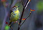 Palm Warbler during Spring Migration