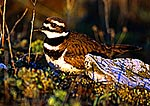 Killdeer in Early Light