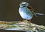 White-throated Sparrow in Winter
