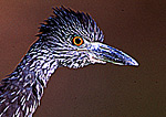 Immature Yellow-Crowned Night Heron