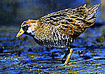Sora Rail in Wetland Habitat