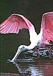 Roseate Spoonbill Feeding