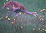 Young Sandhill Crane Foraging among Yellow Flowers