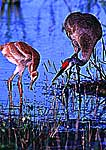 Sandhill Crane with Colt Foraging in Marsh