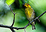 Cape May Warbler during Spring Migration