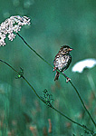 Savannah Sparrow on Queen Ann's Lace