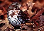 Fox Sparrow Portrait among Oak Leaves