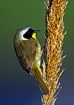 Male Common Yellowthroat in Spring