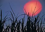 American Beach Grass at Dawn