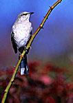 Northern Mockingbird Portrait in Autumn