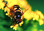 American Hover Fly Nectaring On Goldenrod In Autumn
