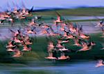 Black Skimmer Flight Impression