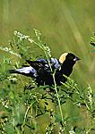 Male Bobolink In Grassland Habitat