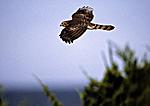 Cooper's Hawk  Ready To Cross Delaware Bay
