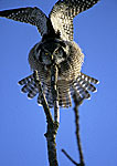 Hawk Owl Threat Display