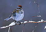 American Tree Sparrow In Snowstorm