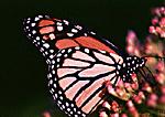 Monarch Butterfly On Joe Pye's Weed