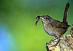 House Wren With Centipede