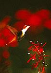 Female Ruby-throated Hummingbird  And Cardinal Flowers
