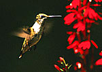 Female Ruby-throated Hummingbird Feeding On Cardinal Flowers