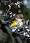 Yellow-Rumped Warbler With Bayberry