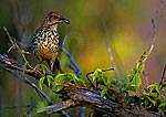 Brown Thrasher With Food For Nestlings At First Light