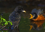 American Robin Interacting With Starling