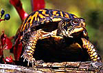 Eastern Box Turtle In Autumn