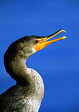 Double-Crested Cormorant With Open Beak