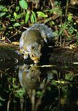 Eastern Gray Squirrel Drinking At Pond