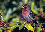 House Finch Eating Oriental Olive Berries