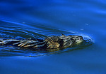 Muskrat Swimming At Bear River NWR