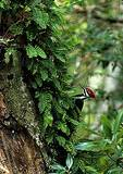 Pileated Woodpecker In Corkscrew Swamp