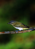 Red-Eyed Vireo After Bath
