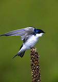 Tree Swallow Wing Stretch