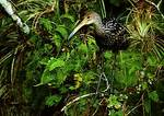 Limpkin In Corkscrew Swamp Amidst Resurrection Fern And Airplants