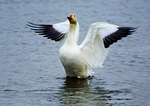 Snow Goose Flapping After Bath