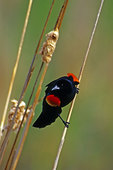 Red-Winged Blackbird Displaying In Cattails