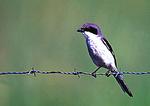 Loggerhead Shrike On Wire