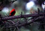 Scarlet Tanager During Spring Migration