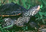 Diamondback Terrapin In Early Summer