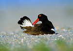 Oystercatcher Preening On Nest