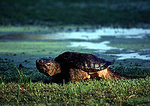 Snapping Turtle In Late Light