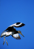 Willet Hovering During Breeding Season