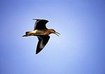 Willet In Courtship Flight