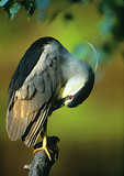 Adult Black-Crowned Night Heron Preening