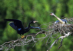 Nesting Anhingas