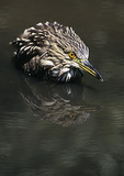 Juvenile Black-Crowned Night Heron Bathing