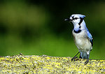 Blue Jay On Lichen-Covered Log